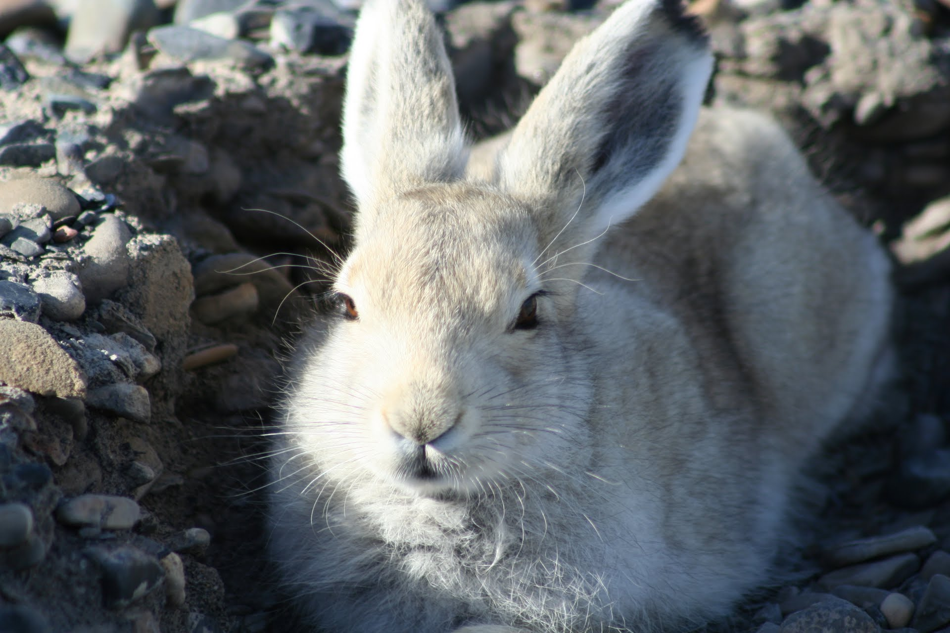 12-06-01 BLOG Image of the month - Arctic Hare